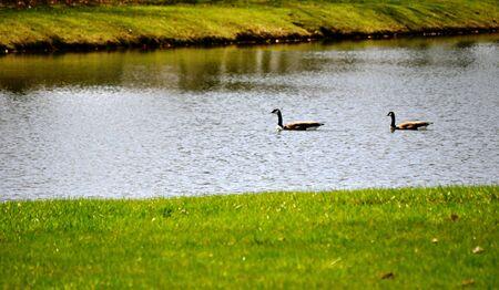 Ducks swimming on the right Banco de Imagens