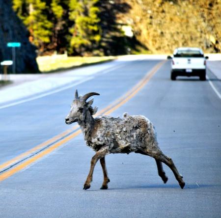 bighorn sheep: Bighorn Sheep Crossing road