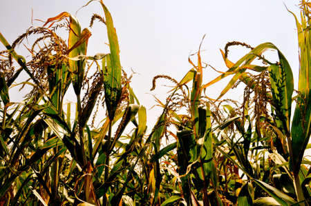 tassles: Corn field