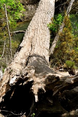 trunk  tree: Puente de Troncos
