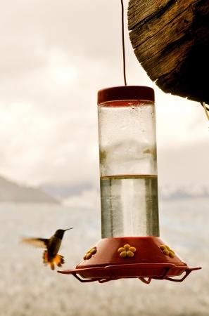 Hummingbird flies to feeder