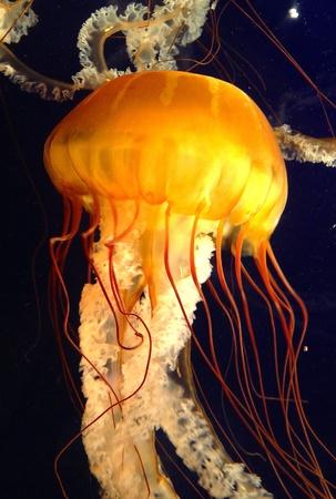 Jellyfish swims