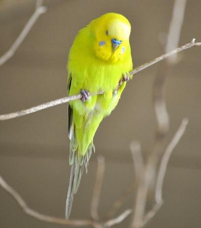 periquito: Periquito amarillo Foto de archivo