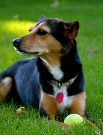 Meagle - Min-Pin Beagle Mixed Breed Dog