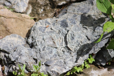 Rock with Shell Fossils