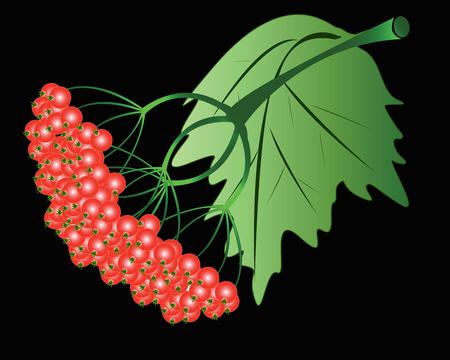 Red berries viburnum on a black background Illustration