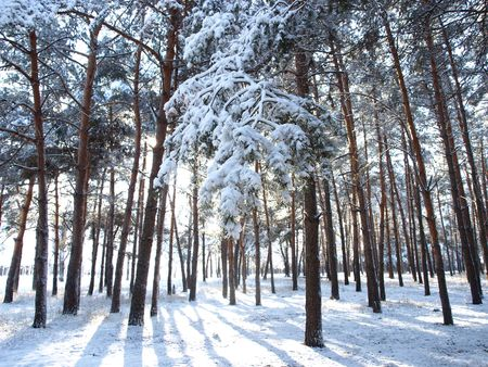 The nature - a primordial, winter landscape, cold weather, the sun, the sky, trees of a birch