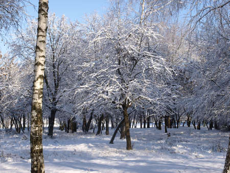The primordial nature, bleaching a birch, branches  a snow, the winter sun, pleasure of walk         Stock Photo