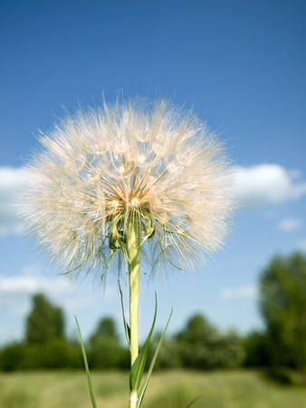 Picture, a large dandelion in an environment of natural vegetation