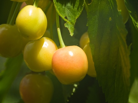 A few cherries, with different maturity, hanging on the branches of the sunlit
