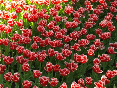 Red tulips with bright petals in the shade