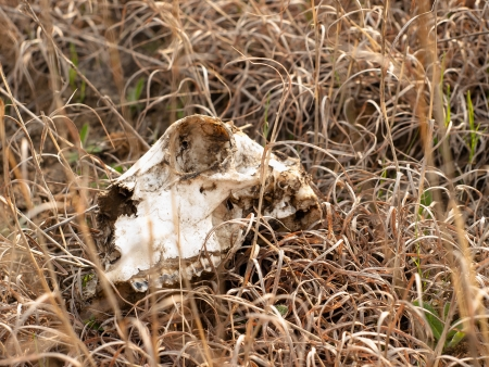 The skull of animal lies in a dry grass Stock Photo