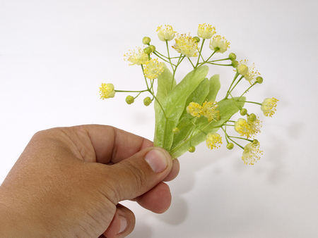 Flowerses of the lime in hand on white background Stock Photo