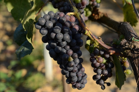 wino: Tuscany, Chianti, Grape