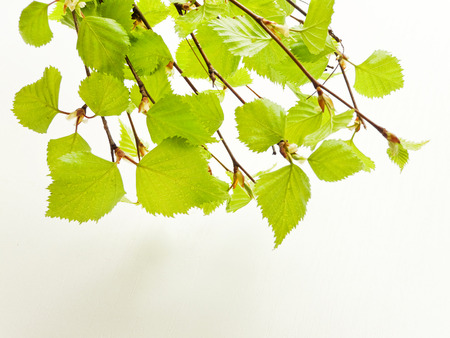 Birch tree leaves on white wooden