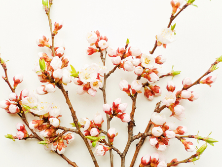 Apricot tree branch with flowers on white wooden