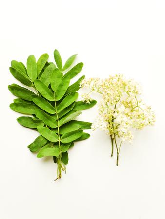 Fiori e foglie dell'albero di sorbo su fondo di legno bianco. Dof poco profondo.