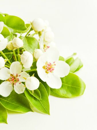 Pear tree branch with flowers on white wooden background. Shallow dof. Imagens