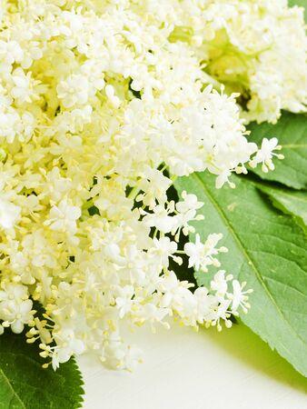Sambucus elderberry flowers on white wooden background. Shallow dof. Stock Photo