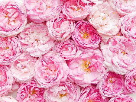 Tea rose pink flowers petals background. Shallow dof. 스톡 콘텐츠