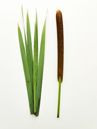 Bul rush cattail on white wooden background. Shallow dof.
