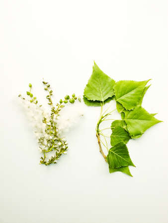 Populus black poplar branch with fluff and leaves on the white wooden background. Shallow dof.