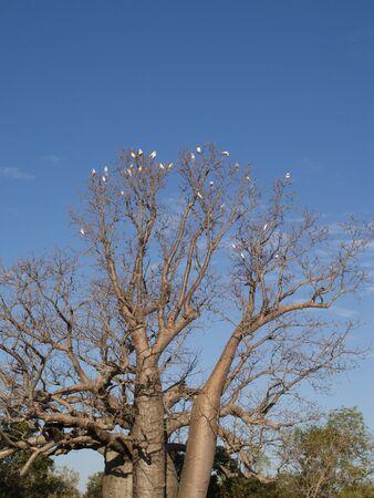 Cockatoos on a boab tree in the kimberleys, Western Australia