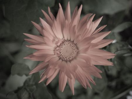 Marigold - Abstract
