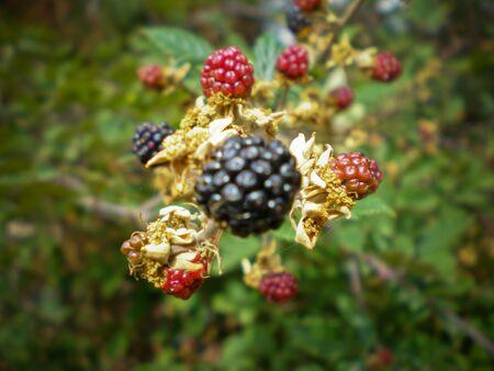 Wild blackberry bush, close up Stok Fotoğraf