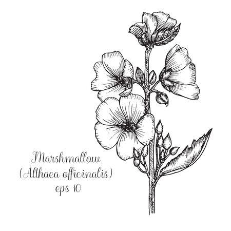 Hand drawn ink illustration of marshmallow (Althaea Officinalis) Çizim