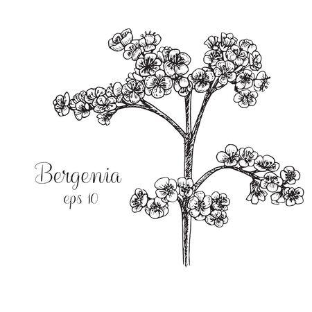 Hand drawn bergenia Stock Vector - 128221928