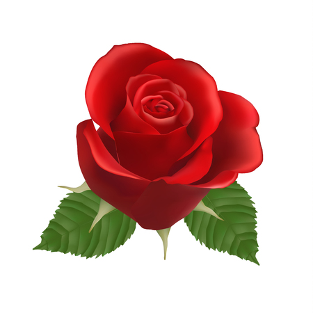 dating and romance: Blooming red Rose, vector, Isolated  flower, floral, plant, valentine, love, romance, wedding, dating, birthday