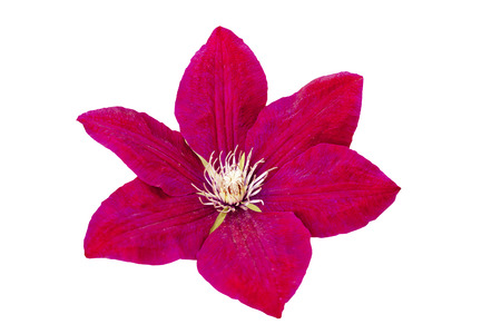 burgundy colour: beautiful flower red - Burgundy color isolated on white