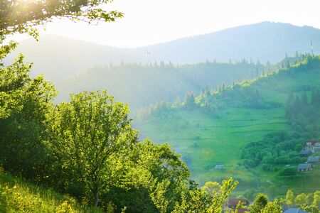 Trees on Carpathian highland meadow