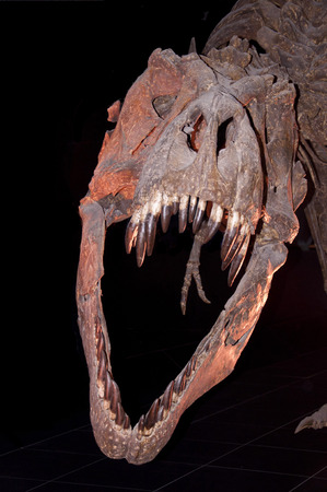 close shot: Close shot of a Tyrannosaurus Rex skull in a museum Stock Photo
