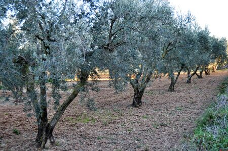 bucolic: A row of olive trees in a field