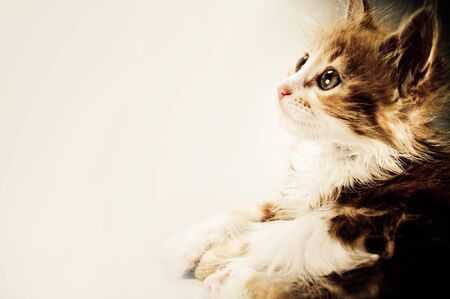cute kitten in right side with place for text Stock Photo