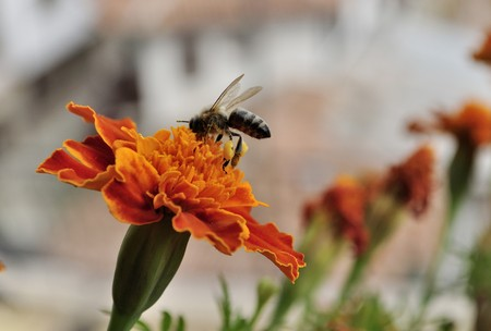 bee collecting pollen on flower Stock Photo - 7869149