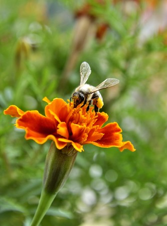 bee gathering pollen on flower Stock Photo - 7869154