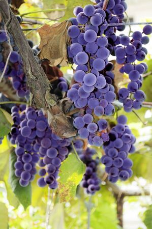 red bulgarian grape ready to be made into wine photo