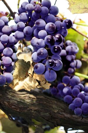 close-up of red bulgarian grape cluster