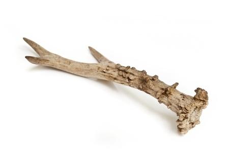 small deer antler isolated on white