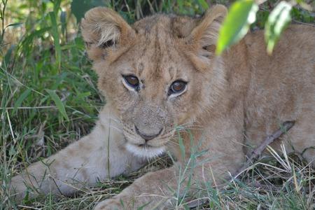 lion baby: bambino leone di riposo Archivio Fotografico