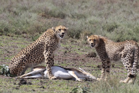 cheetahs: two cheetahs eating