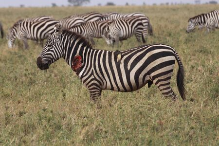 wounded: wounded zebra in profile