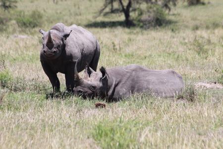 resting: rhinos resting Stock Photo