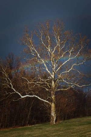 sicomoro: Arcobaleno attraverso un sicomoro solitario