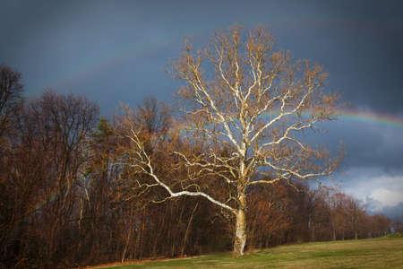 sicomoro: Doppio arcobaleno sopra un sicomoro