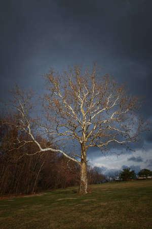 sicomoro: Sycamore in erba in un giorno nuvoloso primavera