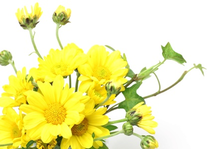 chrysanthemum 版權商用圖片
